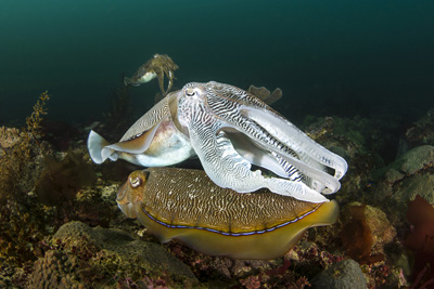 Oman_Diving_Squid2.jpg